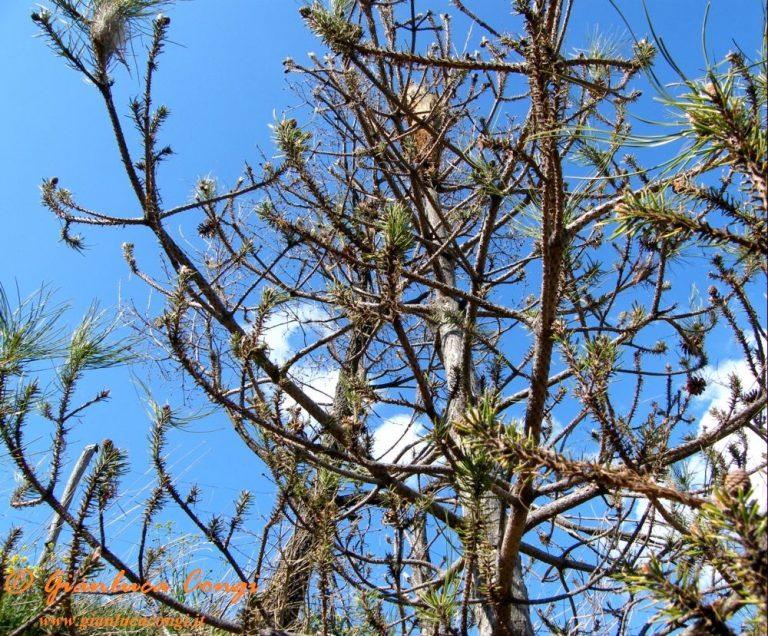 Scheletrizzazione di giovani pini larici - ph Gianluca Congi
