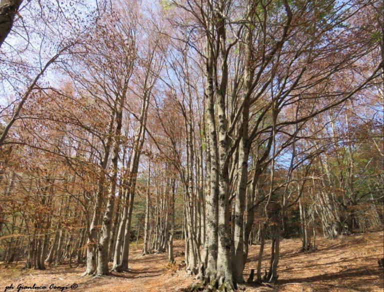 Foresta di faggi a Pettinascura, gravemente colpiti dalla gelata tardiva - ph Gianluca Congi
