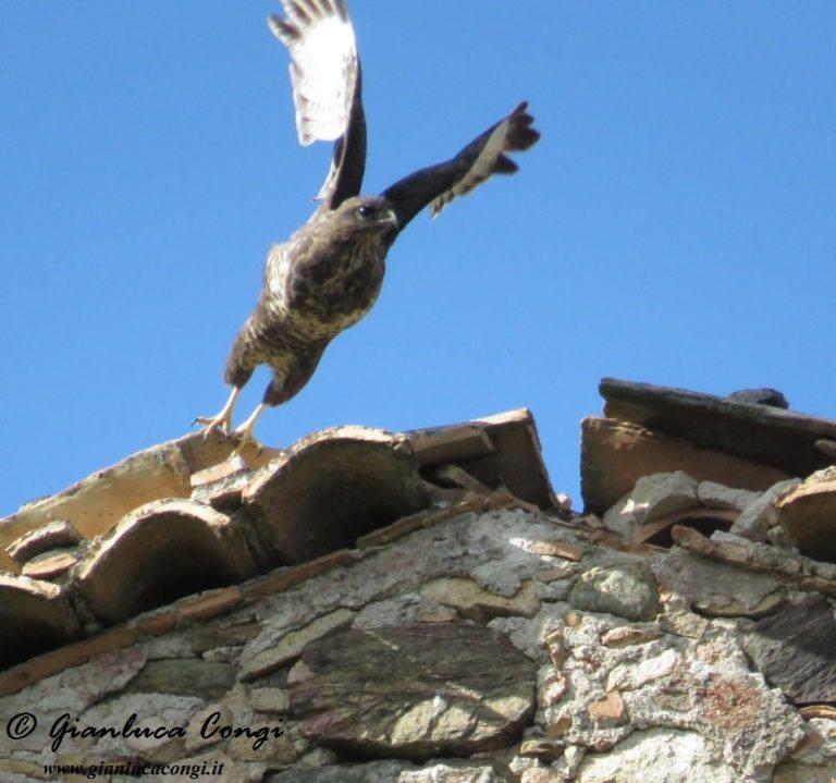 Una Poiana adulta spicca il volo da un casolare - ph Gianluca Congi