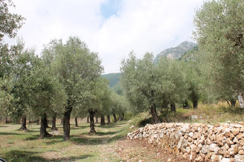 La coltivazione dell olivo un po di storia u cultura salentina