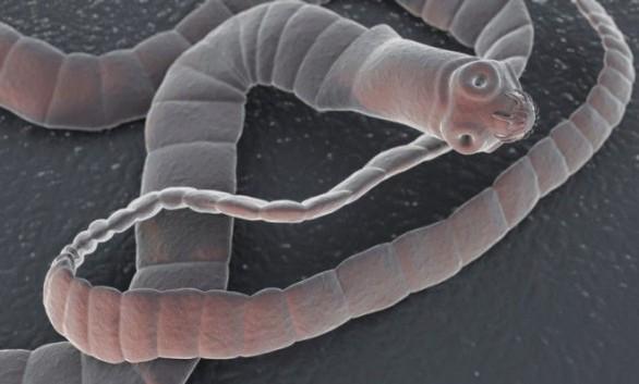 Risultati immagini per verme solitario