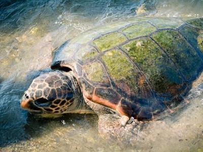 Mare strage di tartarughe per la pesca al gambero il for Lago per tartarughe