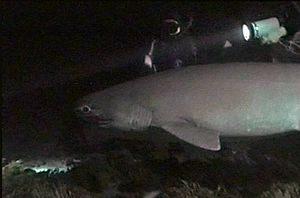 Esemplare di squalo Capopiatto osservato nelle profondità dello Stretto di Messina