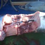 Enorme squalo bianco nello Stretto di Messina, paura sulla feluca: pesce spada dilaniato [GALLERY]