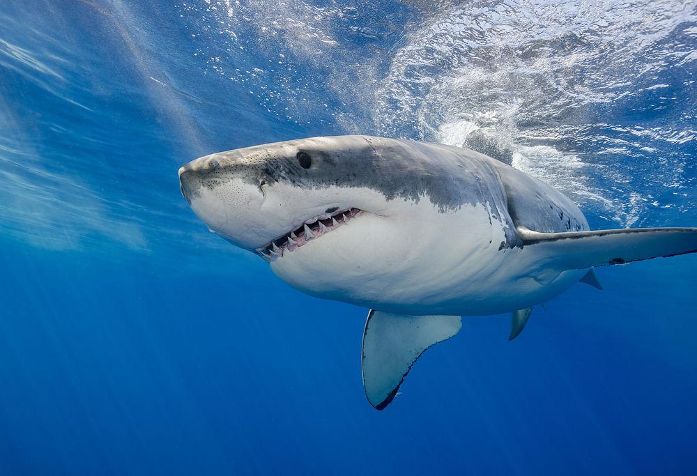 Australia, 7 vittime per gli squali nel 2020: non succedeva dal 1934