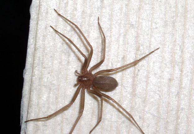 morsa da un ragno eremita in italia la prima vittima