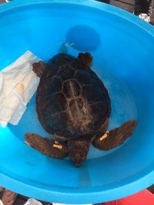 tartaruga caretta caretta (7)