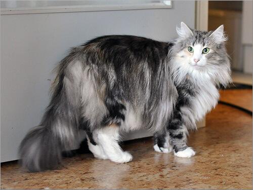 Scatti felini la mostra con i gatti pi grandi del for Gatto della foresta norvegese