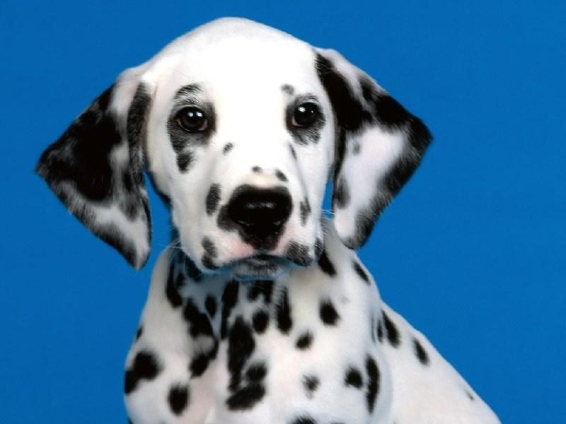 Intelligenza canina: ecco la classifica dei cani più ...