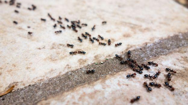 SOS formiche: ecco i rimedi naturali per eliminarle - Meteo Web