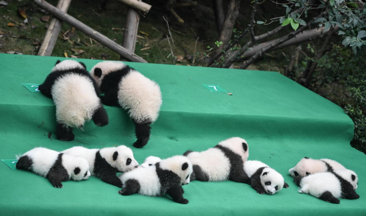 Cina nati 10 cuccioli di panda giganti al centro di allevamento e ricerca  di Chengdu [GALLERY] , Meteo Web