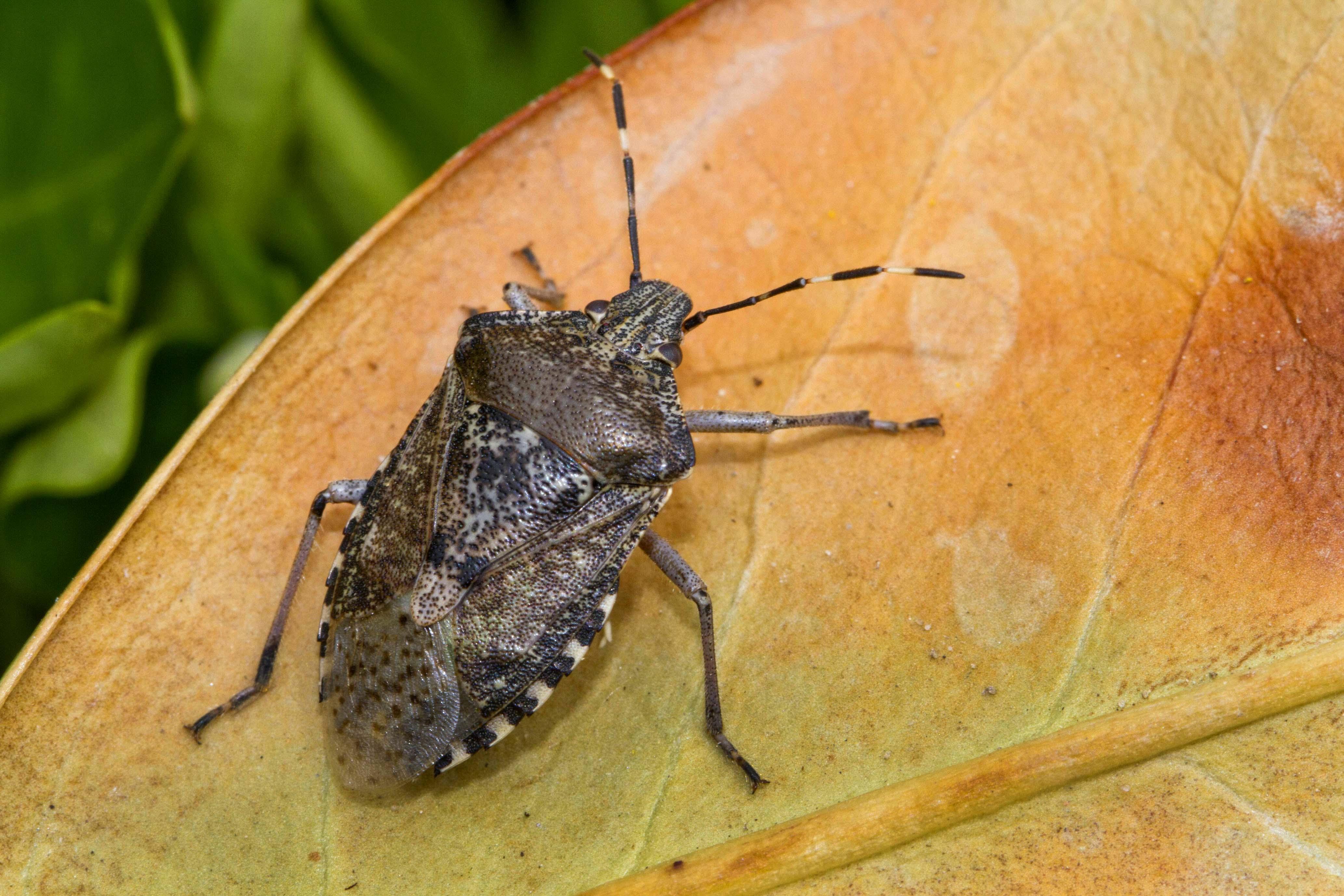 Sos cimici asiatiche al nord italia ecco come prevenirle for Cimice insetto