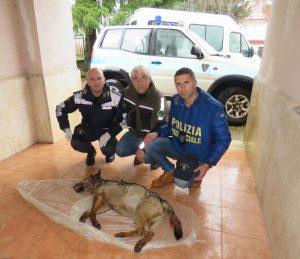 Sila: rivenuta la carcassa di un giovane lupo appenninico [FOTO]