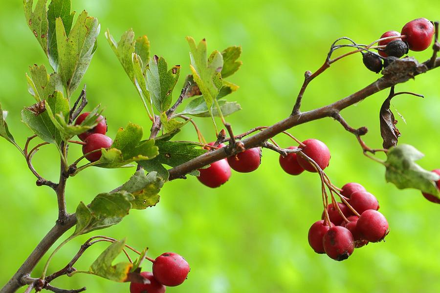 Bacche di biancospino propriet benefiche e utilizzi in for Bacche rosse nomi
