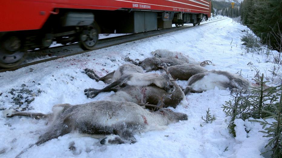 incidenti renne norvegia