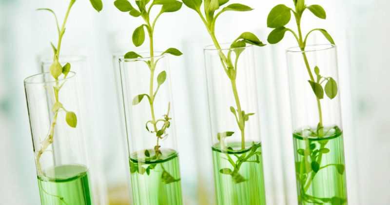 piante geneticamente modificate