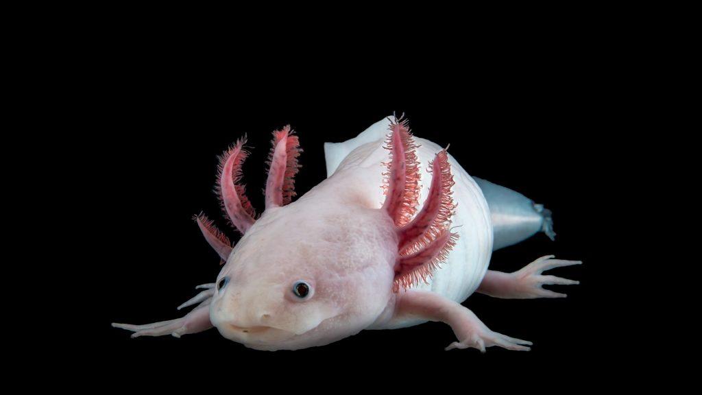 axolot salamandra rigenerazione