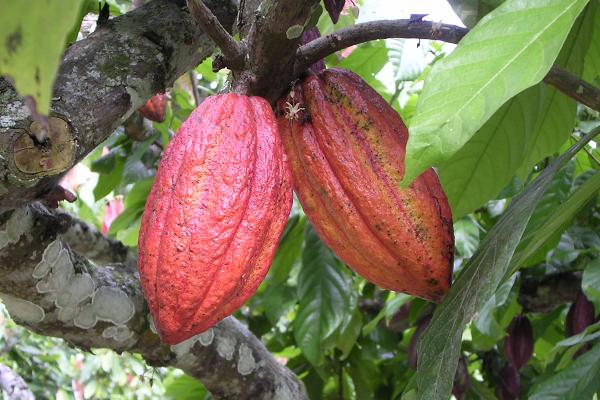 Piante Di Cacao : Allarme per la pianta di cacao il cioccolato rischia