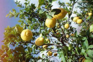 albero limoni