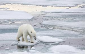 Orso polare a Spitsbergen