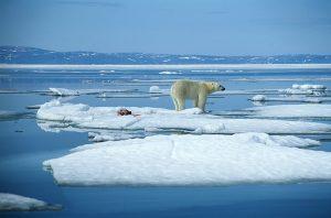 orsi polari scioglimento ghiacci