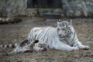 tigre bianca olimpiadi invernali 2018
