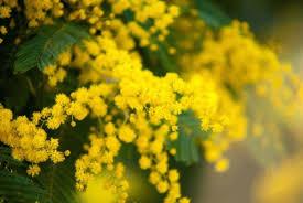 Ecco perché la Mimosa è il simbolo della Festa della donna - Meteo Web 5e44b593e7a4