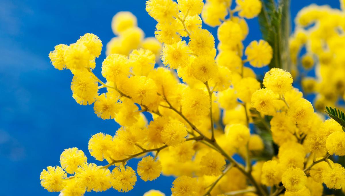 L'8 Marzo la mimosa resta un must per 7 donne su 10