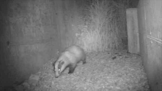 Animali: ecco come volpi, donnole, tassi e faine hanno imparato a spostarsi in tutta sicurezza sotto A58-TEEM ...