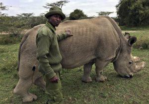 Sudan, ultimo rinoceronte bianco settentrionale maschio del mondo