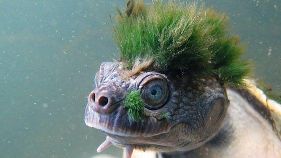 tartaruga cresta verde estinzione