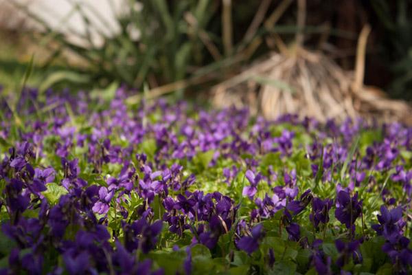 violette parma