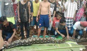 pitone indonesia