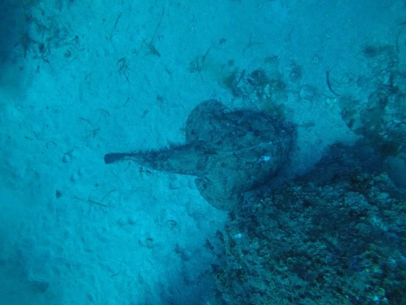 Punta Campanella rana pescatrice