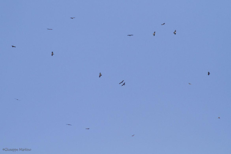 Falco pecchiaiolo - Pernis apivorus