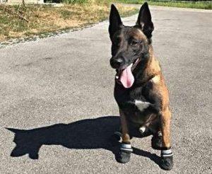cani polizia caldo