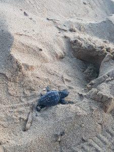 tartarughe caretta caretta erice