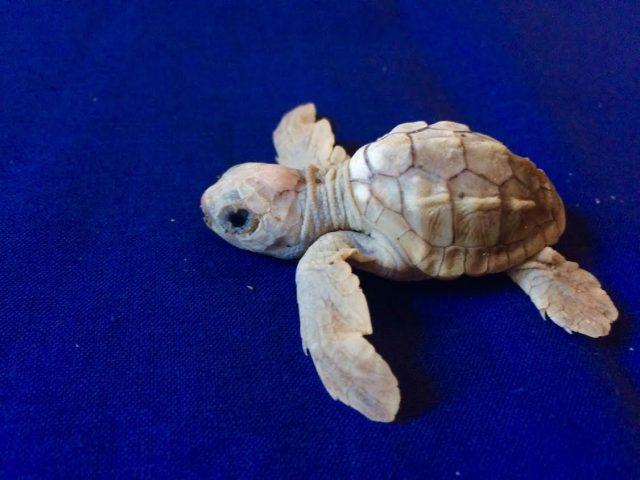 tartaruga albina calabria
