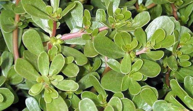 Portulaca oleracea propriet benefiche e utilizzi in for Portulaca commestibile