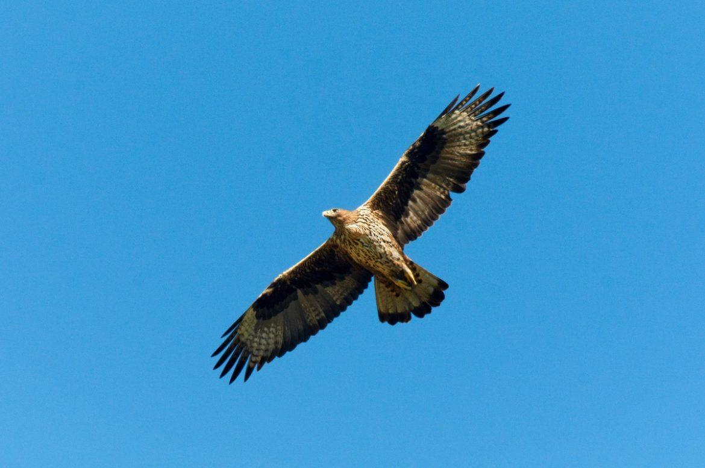 Aquila di Bonelli