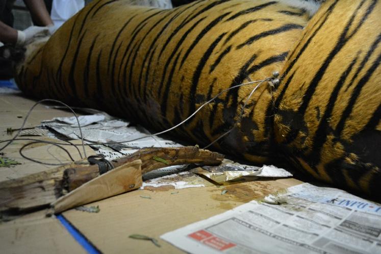 wwf tigre indonesia