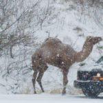"""Maltempo USA: tra le auto bloccate sulle strade della Pennsylvania, spunta un…""""Cammello delle nevi"""" [FOTO e VIDEO]"""