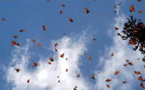 farfalle monarca messico