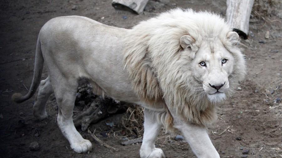 leone bianco mufasa