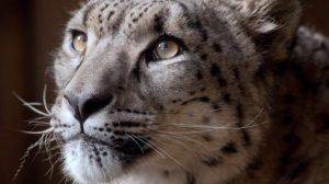 leopardo delle nevi ucciso