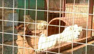 mufasa leone bianco
