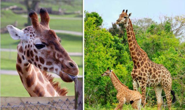 estinzione giraffe