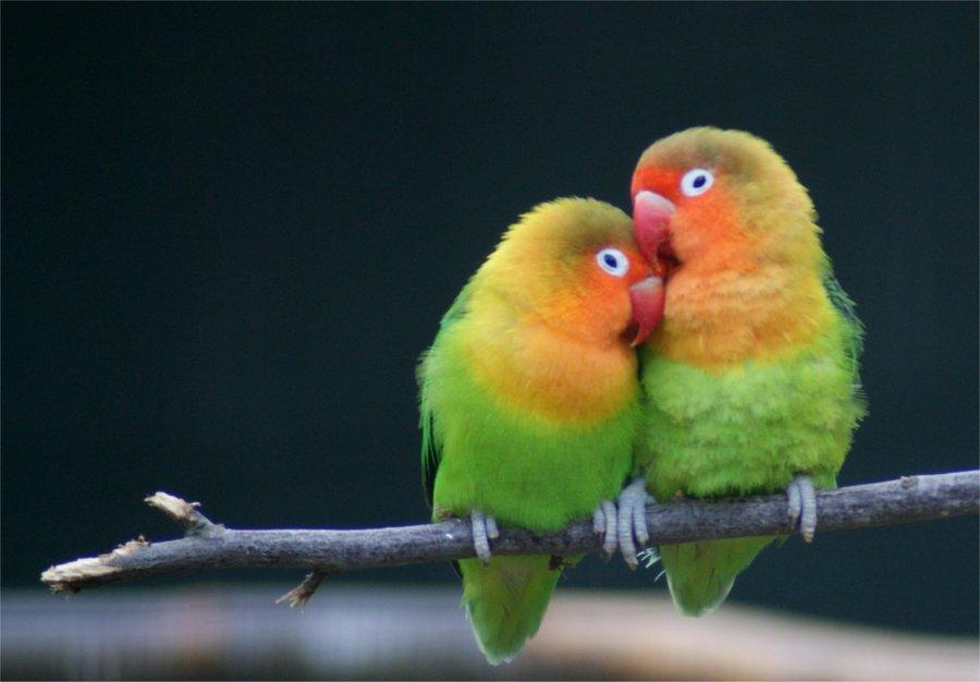 animali-monogamia-pappagalli-amore