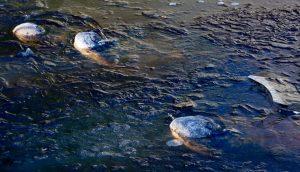 brumazione alligatori freddo usa