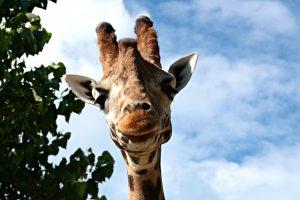 parco zoo falconara giraffa